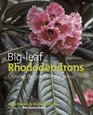 Big Leaf Rhododendrons Growing the Giants of the Genus