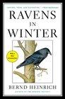 Ravens in Winter